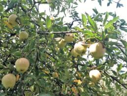 Des pommes dans un gîte à vichy